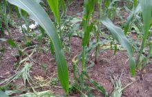 江油市马角镇马阁寺村12组,玉米被野猪吃的所剩无几了
