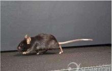 家里进老鼠了,怎么办啊