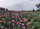 九岭画里乡村芍药花开成海啦。