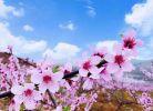 走,约起!到小溪坝镇免费欣赏千亩桃花!