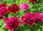 画里香村芍药花开放啦,4月20日邀您开启芍药花观赏盛宴,与您不见不散