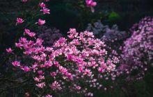 后山有辛夷 花开在吴家 十年相守 花开花落