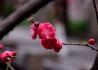 西山农家小院的桃花