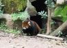 熊猫一拍于成都动物园