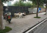 丢了羊的失主,由于影响城市交通安全,已被市政巡查人员收管