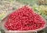 厚坝梨子山樱桃熟了