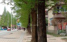 武都太白小学公路旁两边漂亮的杉树!