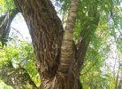 《看稀奇》,李白纪念馆柳村上长出一根构叶树,长得很茂盛,