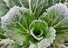绿色菜叶上的霜花(手机视觉)