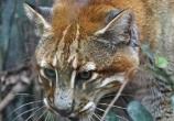 金猫现身四川北部山区,体重12公斤,却捕杀