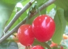 自己家的大樱桃开始成熟?#32781;?#21487;粒较大。颜色漂?#31890;?#21619;道
