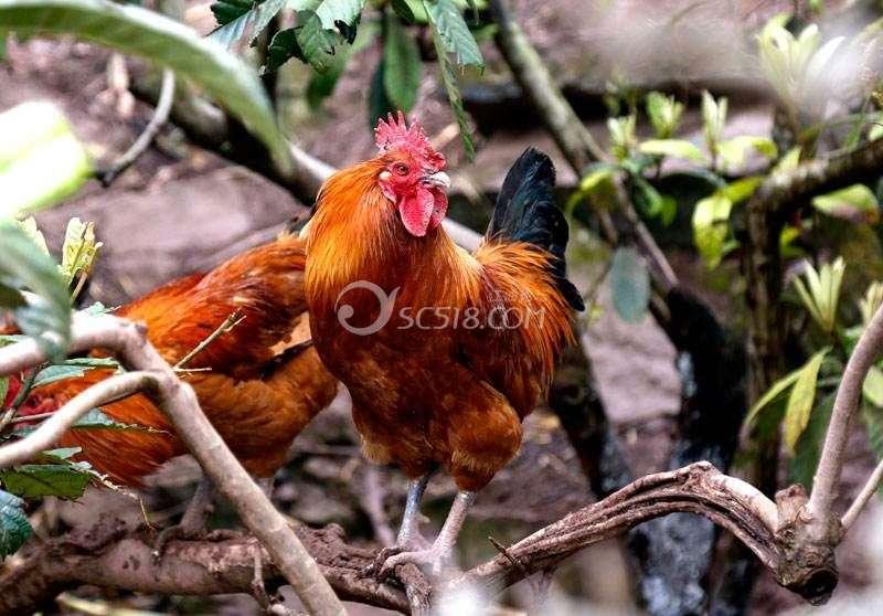 鸡儿.jpg