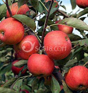 苹果降价了2元一斤