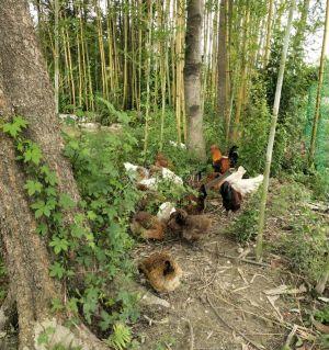 绝对的土鸡,白虫王生态土鸡,公鸡28一斤,母鸡30一斤,可包杀