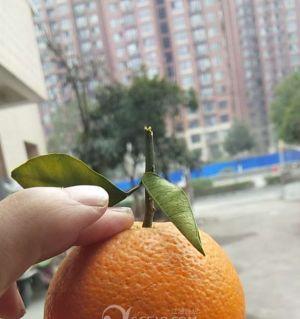金堂臍橙待銷!便宜賣了2元一斤!哪個要啊?