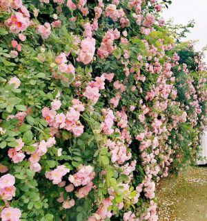 人间四月芳菲尽,大康蔷薇始盛开