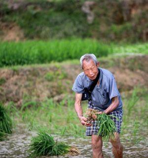 农忙季节栽秧