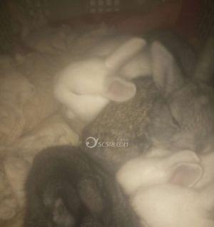出售小肉兔子和猫兔,小肉兔子20元1只,猫兔50元