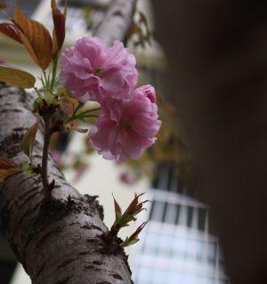 雨打桃花花欲摧,娇艳伶俐在落泪。