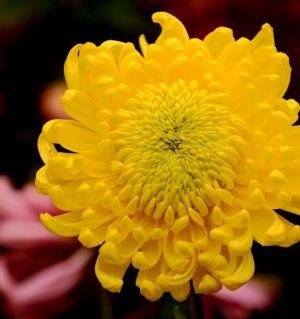 无限枝头颜色好-拍菊花