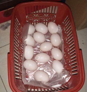 自家的鸽子下的蛋,我需要的吗?