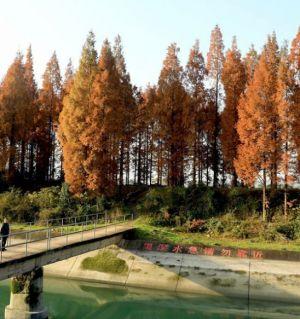 初冬的杉林