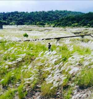 灰坝的芦苇花开了