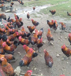 武都村民养了上千只土红公鸡!