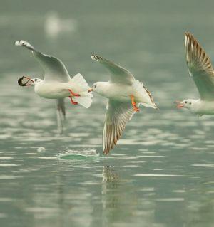涪江上的海鸥