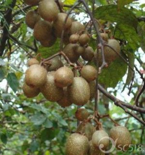江油的朋友们,请问哪里有野生猕猴桃卖?