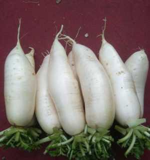 韩国萝卜贱卖了。由于第一年种植韩国白萝卜没经验,也