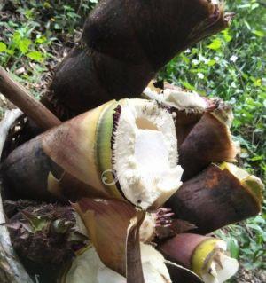 新鲜竹笋,现挖现卖?#21917;?#22771;50斤以上2元一斤/以下2.5元,煮熟50斤以上3元,50斤以下3.5