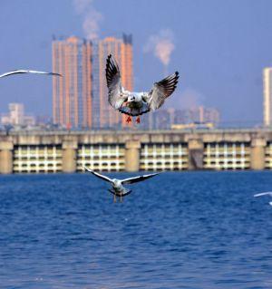 涪江边上观鸥鸟