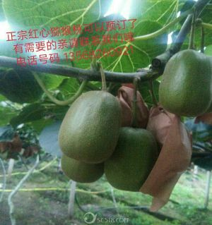 自家种的红心猕猴桃在10天上市了,味道巴适,营养价