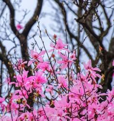 4月7日回归线摄影俱乐部 吴家后山辛夷花外拍采风活动召集令