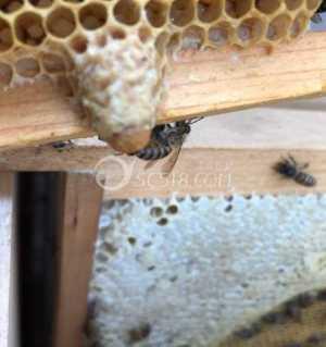 出售中蜂和蜂蜜