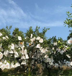 耙耙柑成熟中……丰收的喜悦