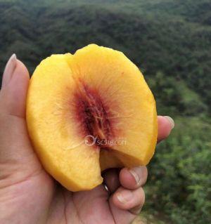 苏记高山黄桃成熟了