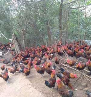 跑山鸡起团啦,15一斤,50只起团,1340401