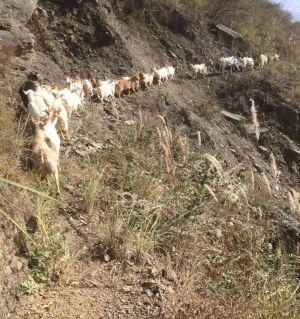 生態跑山羊預定熱線13668334904