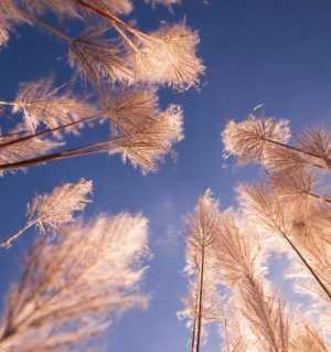 歡樂飄逸的蘆花一一涪江二橋岸邊蘆葦