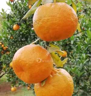 武引柑橘采摘園,椪柑采摘隨便吃,還送福利!