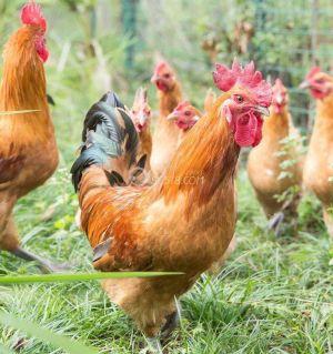 跑山雞12元/斤還有十幾只了喂的純糧食老房子后山上純放養!