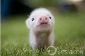 仔猪出售,想养年猪的朋友们来电咨询