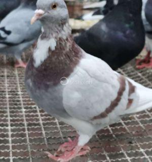纯粮青年鸽一百元四只,新鲜鸽蛋一百元三十个,少量粮草放养山羊出售
