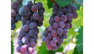 江油哪里可以摘葡萄