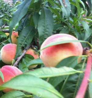 青山绿水出鲜桃、青林口古镇白花桃熟了、色泽鲜艳、汁